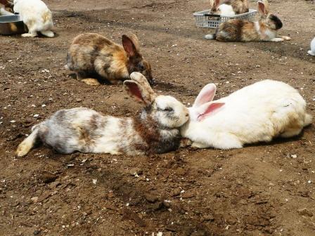 触れ合い広場のウサギ達