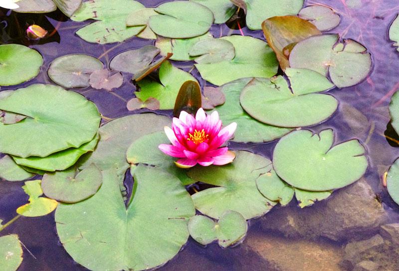 池の睡蓮が開花しました