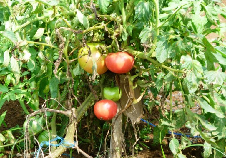 農園の夏野菜