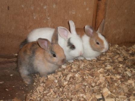 動物触れ合い広場の仔ウサギ