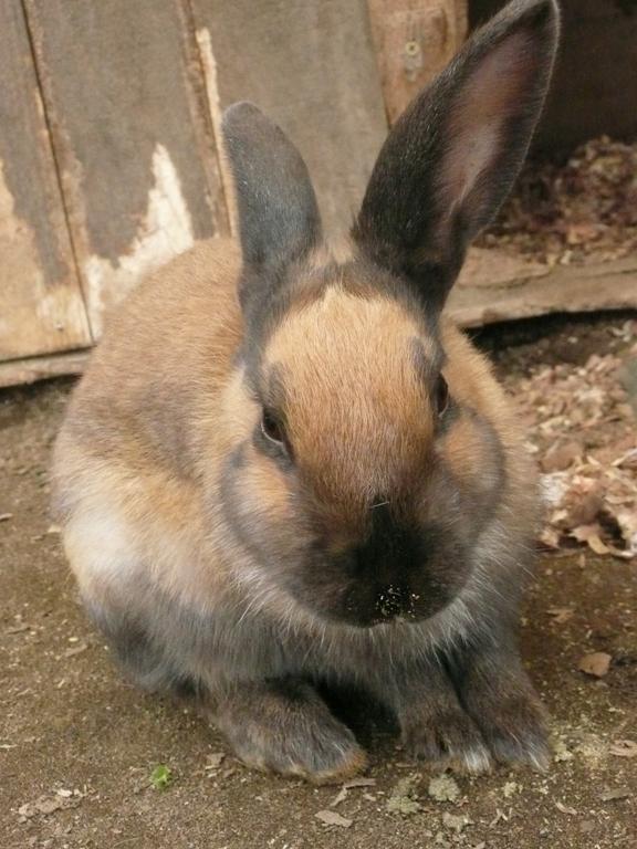 動物触れ合い広場のウサギ