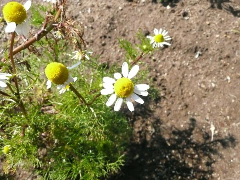 春の代表的なハーブ