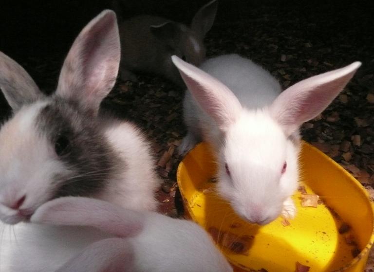 動物ふれあい広場の仔ウサギたち