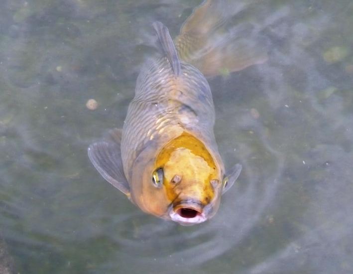 センタープレイス(レストラン横)の池の鯉