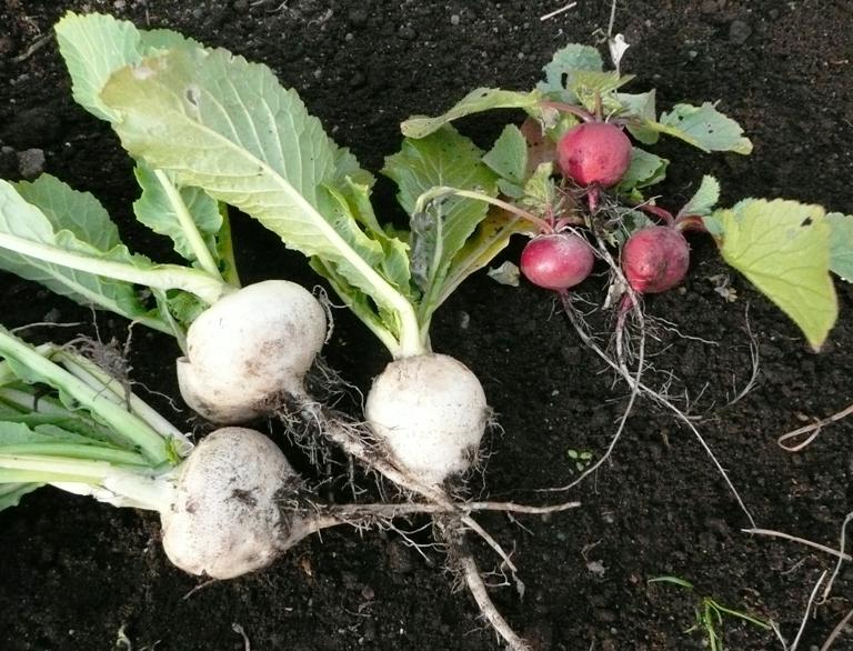 農園の冬野菜