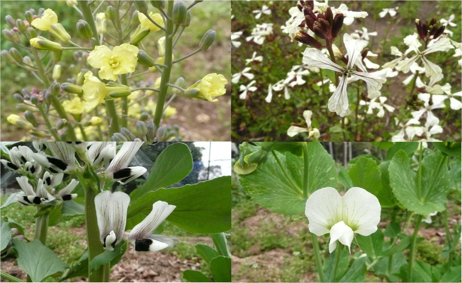 農園の野菜の花