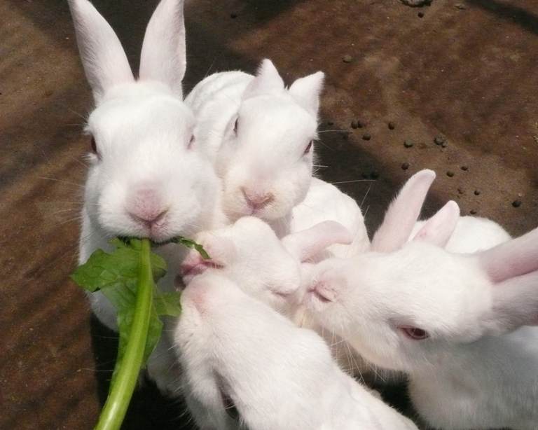 本日のウサギたち