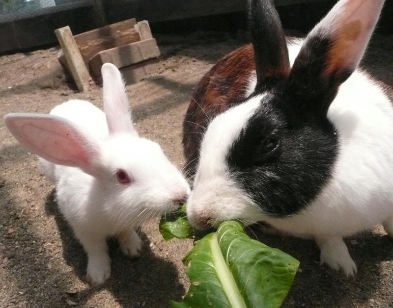 動物ふれあい広場のウサギたち