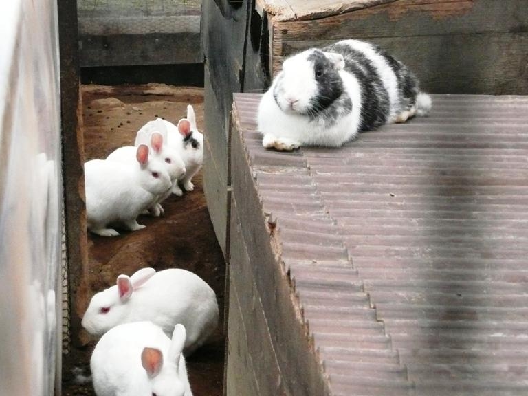 動物ふれあい広場のウサギ