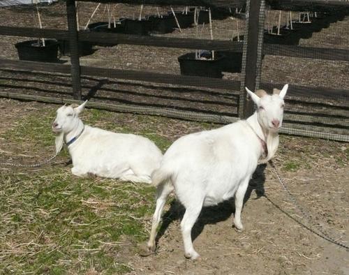 動物ふれあい広場のヤギたち