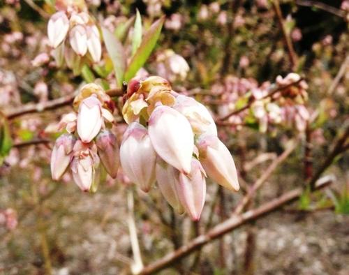 ブルーベリーの花のつぼみ