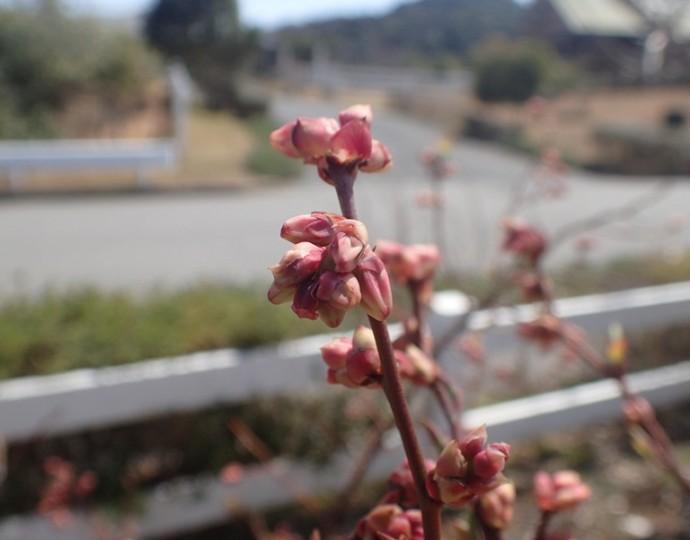 「 ~ ブルーベリーの花芽 ~ 」
