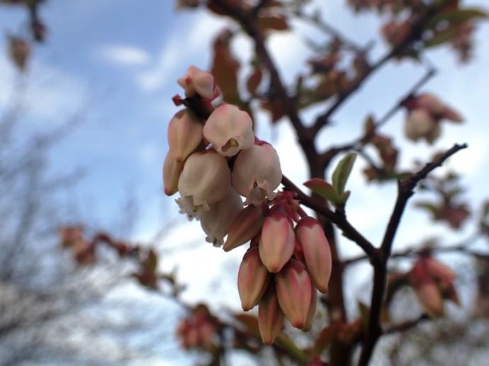 「 ~ ブルーベリーの花 ~ 」
