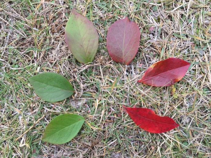 「 ~ ブルーベリーの葉っぱ ~ 」