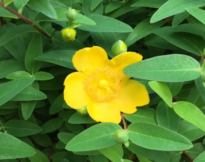 「5月21日 ~ キンシバイが咲き始めました! ~ 」