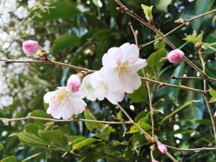 「3月24日 ~ ヤマザクラが開花しました ~ 」