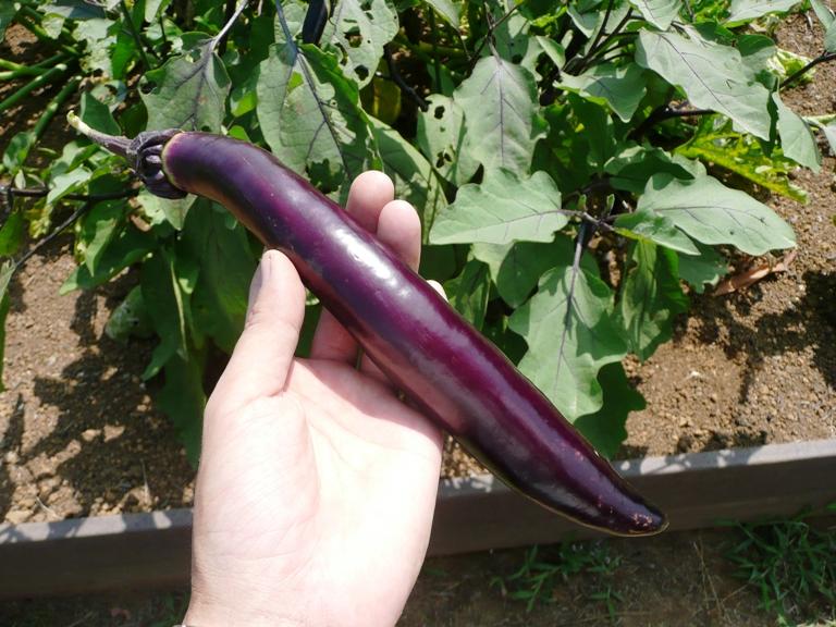 「8月22日 ~キッチンガーデンの夏野菜~」