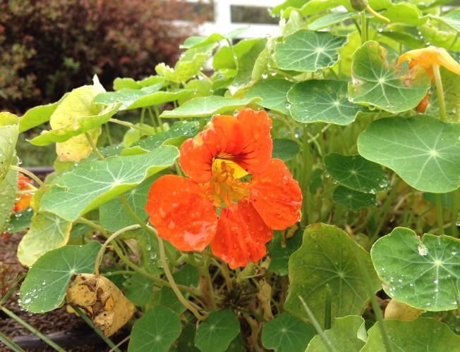 「10月28日 ~ ナスタチウムの花 ~ 」