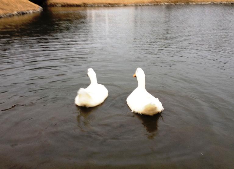 「3月1日 ~ 屋外プール横の池で泳ぐアヒルさん ~ 」
