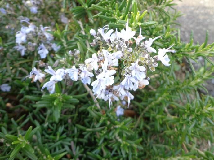 「3月17日 ~ ローズマリーの花 ~ 」