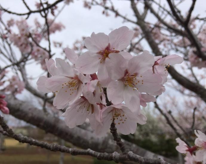 「 ~ 桜の花 ~ 」