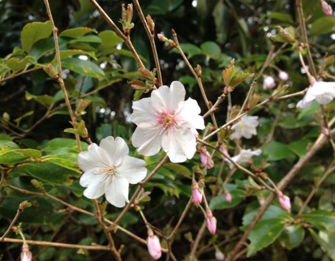 「3月25日 ~ ヤマザクラが咲き始めました! ~ 」