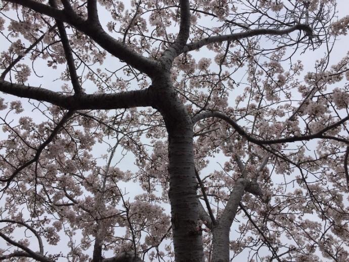 「 ~ 桜を木の下から見上げると ~ 」