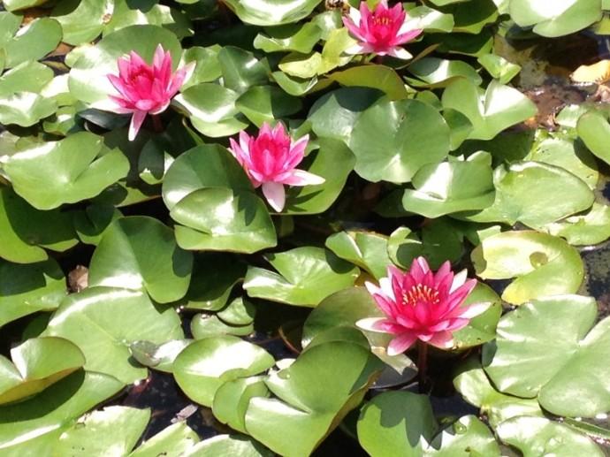「8月18日 ~ センタープレイス池のスイレンの花 ~ 」