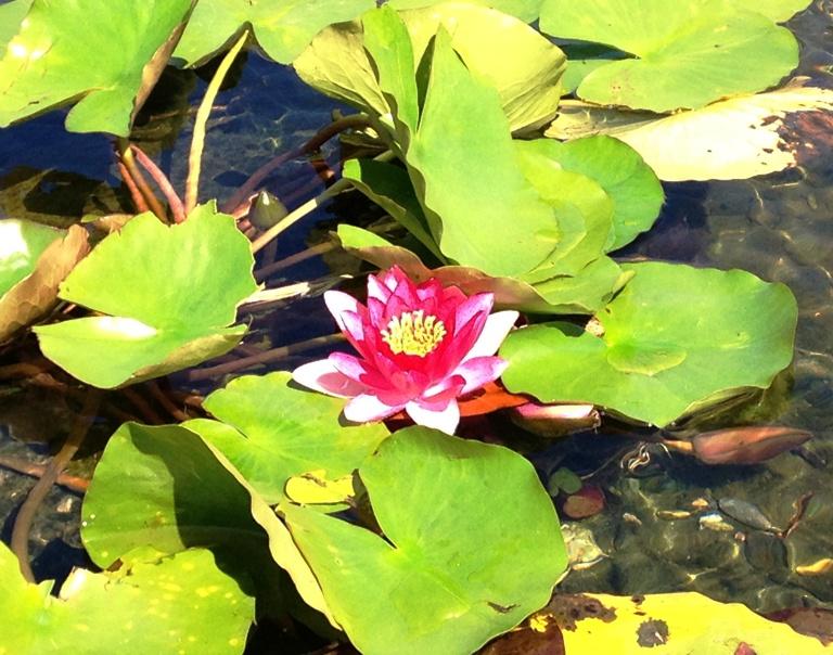 「9月27日 ~ センタープレイス池のスイレンの花 ~ 」