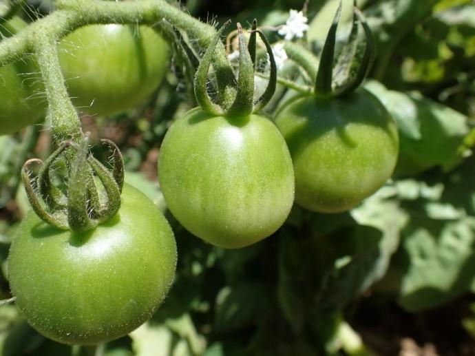 「8月5日 ~ キッチンガーデンのトマト ~ 」