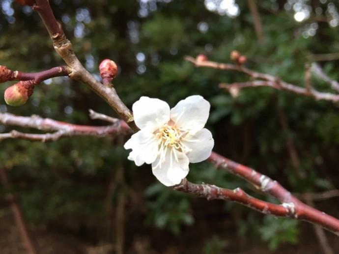 「2月4日 ~ 梅の花が開花していました! ~ 」