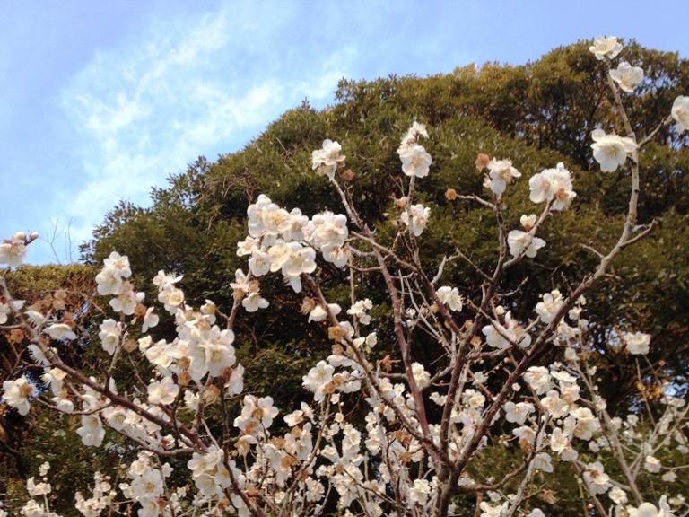 「3月3日 ~ 梅の花 ~ 」