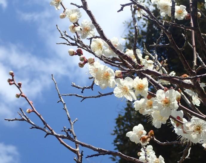 「 ~ 梅の花 ~ 」