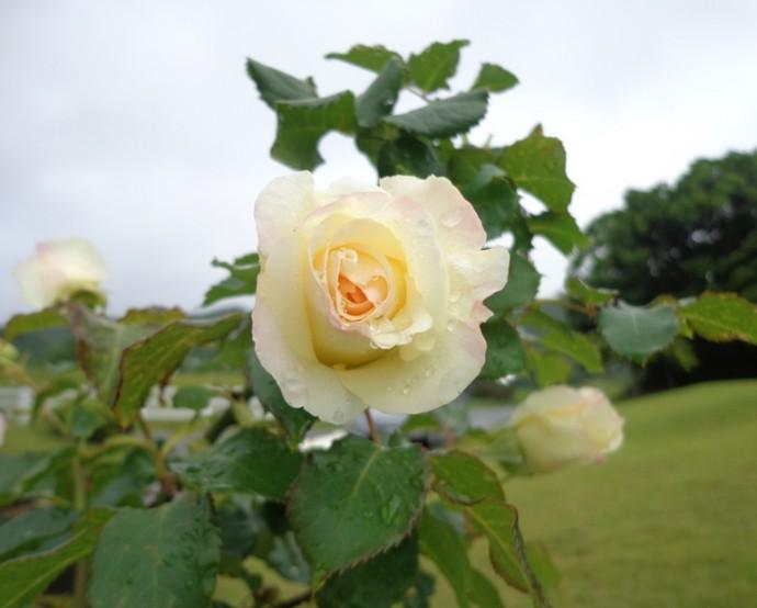 「6月9日 ~ バラの花 ~ 」