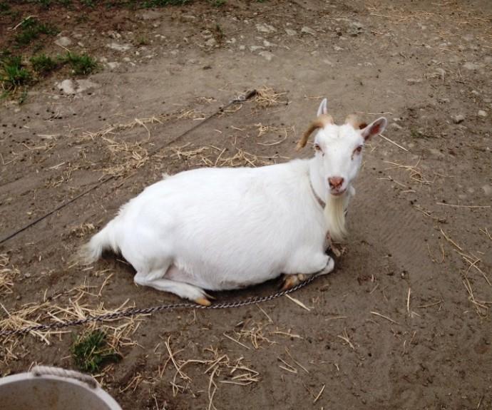 「7月23日 ~ 動物ふれあい広場のヤギさん ~ 」