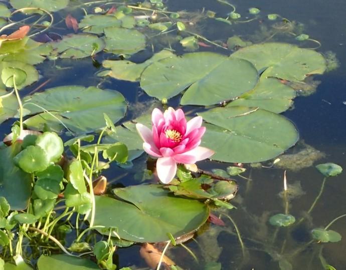 「 ~ センタープレイスの池より・スイレンの花 ~ 」