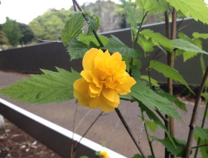 「5月8日 ~ ヤエヤマブキ(八重山吹)が咲きました ~ 」