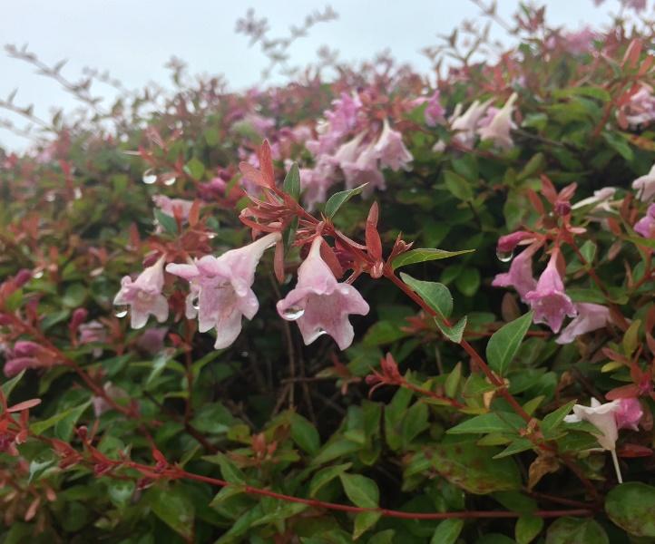 「 ~ アベリア・ピンクの花 ~ 」