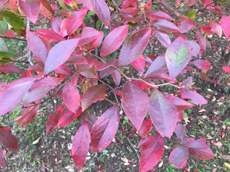 「 ~ 真っ赤に色づいたブルーベリーの葉っぱ ~ 」