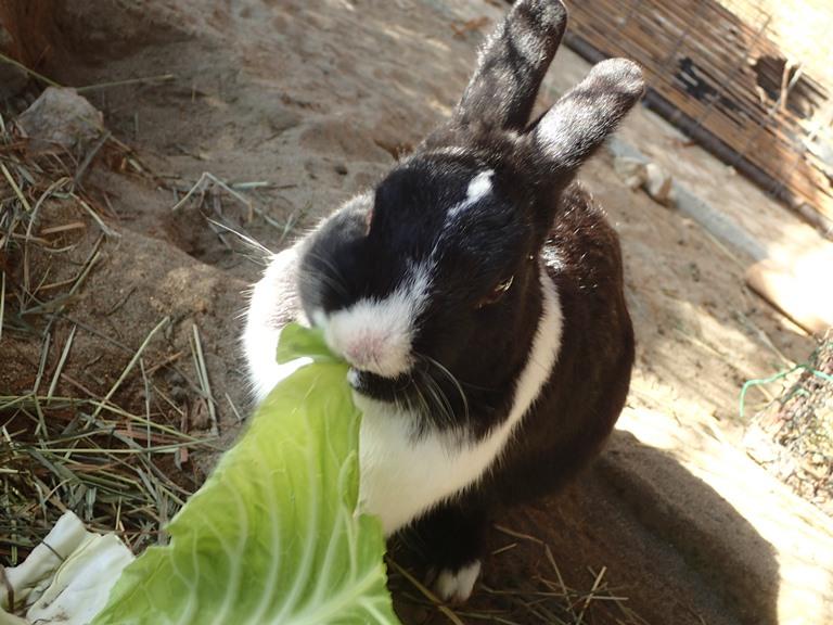 「 ~ オスウサギの、おはぎくんです! ~ 」