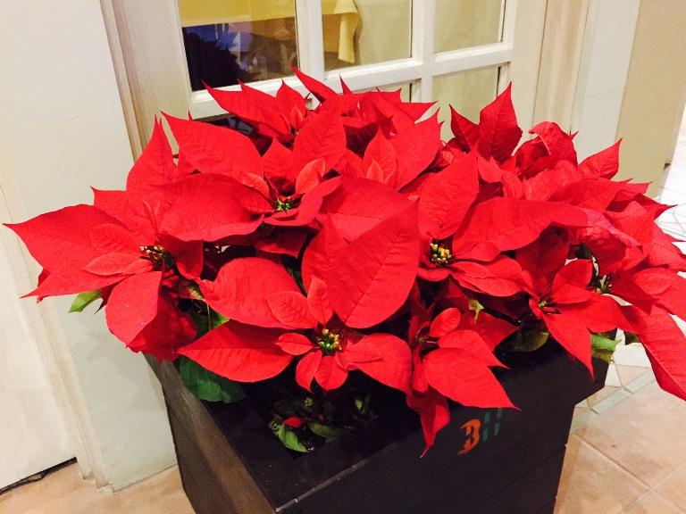 「 ~ クリスマスに飾る植物と言えば ~ 」