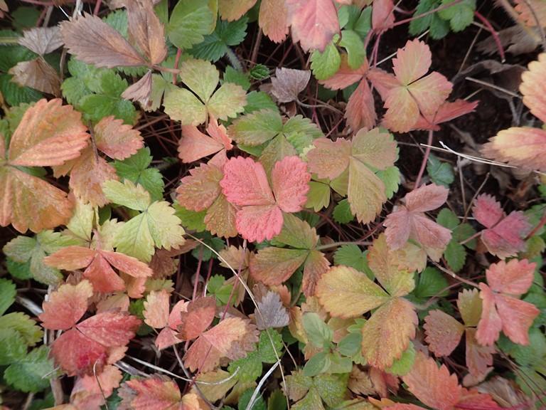 「 ~ ワイルドストロベリーの葉 ~ 」