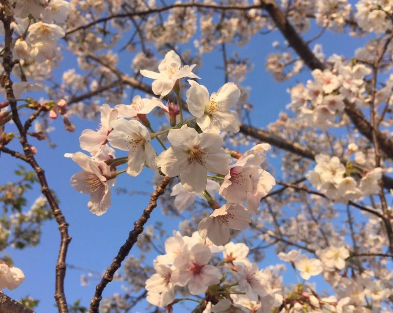 「 ~ 今年の桜は ~ 」