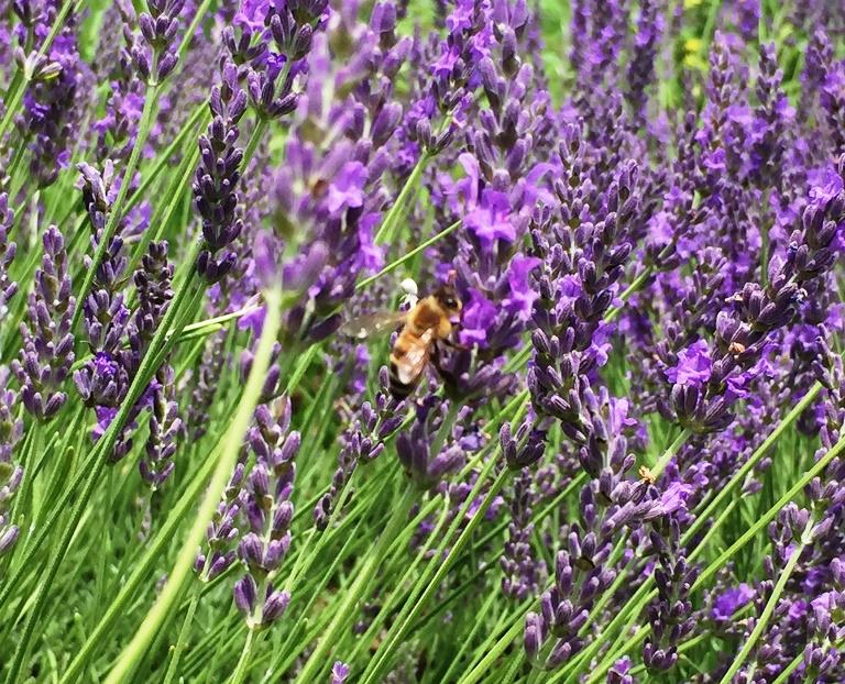 「 ~ ラベンダーとミツバチ ~ 」