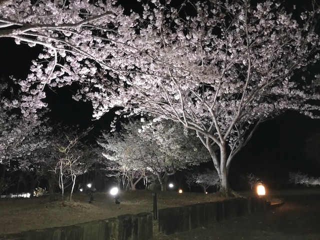 ~ 夜桜 お花見公園 ~