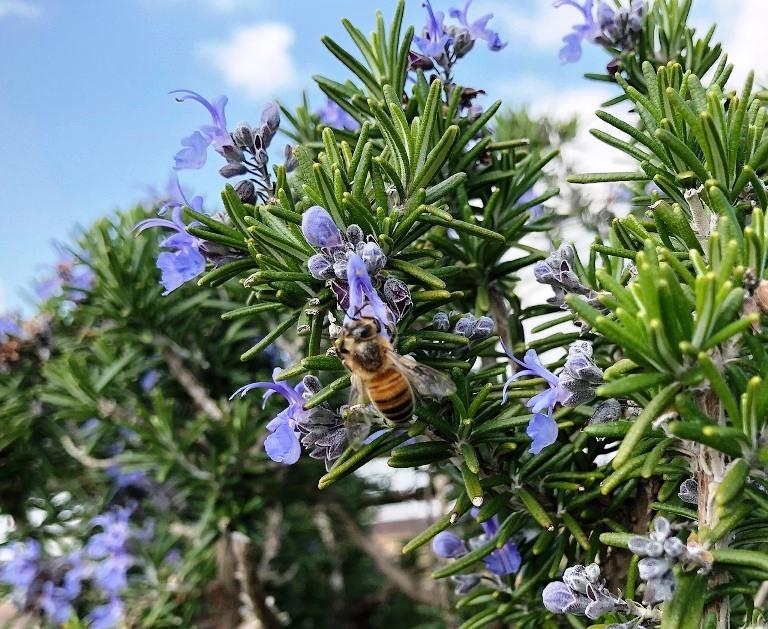 ~ ローズマリーとミツバチ ~