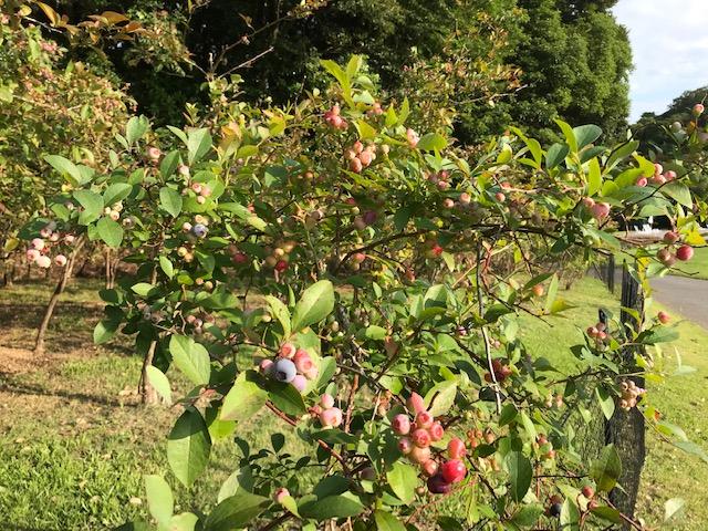 ~ ブルーベリーの実が熟し始めました ~