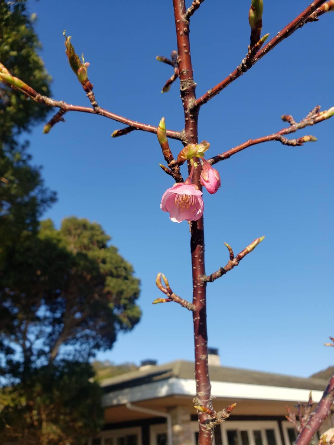 ~ 季節外れの桜 ~