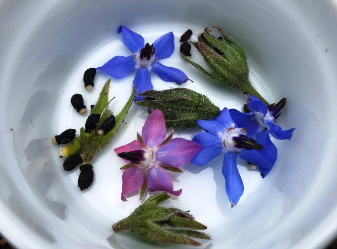 ~ ボリジの花と種 ~