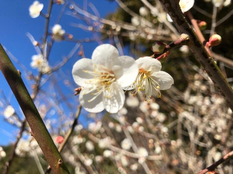~ 梅の花 ~
